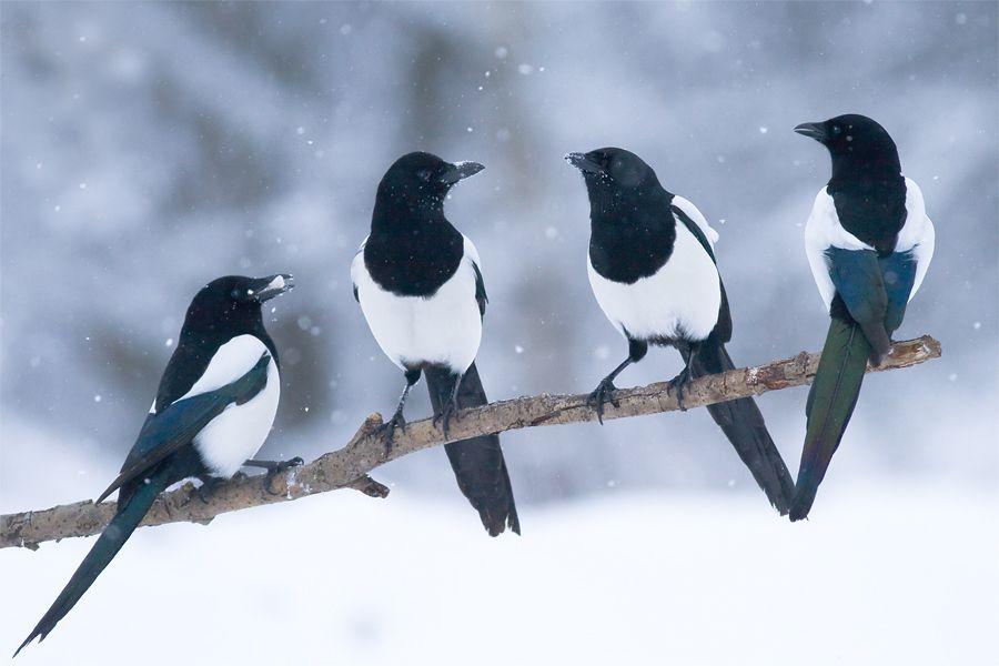 زاغچه - آفت پرنده