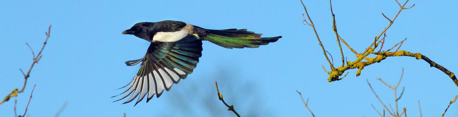 زاغچه، آفت پرنده